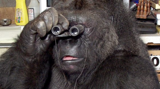 Les grands singes plus intelligents que Lucy